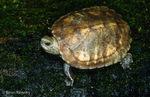 Japanese Wood Turtle / Ryukyu Black-Breasted Leaf Turtle (Geoemyda japonica / Syn: Mauremys japonica) Endemic to Ryukyu Islands, Japan. Endangered (IUCN).