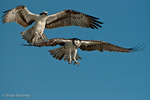 Osprey (Pandion haliaetus carolinensis) in flight, Male (above) engaged in aerial courtship display with Female, Florida.  The Osprey is also known as a Seahawk, Fish Hawk, and Fish Eagle.  This successful diurnal raptor is found on all continents throughout the world with the exception of Antarctica.  Background digitally extended above birds.