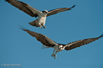 Osprey (Pandion haliaetus carolinensis) in flight, Male (above) engaged in aerial courtship display with Female, Florida.  The Osprey is also known as a Seahawk, Fish Hawk, and Fish Eagle.  This successful diurnal raptor is found on all continents throughout the world with the exception of Antarctica.