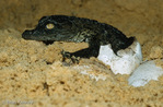 Nile Crocodile (Crocodylus niloticus) hatching from egg.  Africa, Madagascar, & Middle East.  Threatened (USESA), CITES I & II.