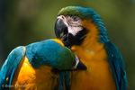 Blue and Gold Macaw / Blue and Yellow Macaw  (Ara ararauna) Allopreening (preening each other in courtship / pair bonding ritual).  Panama, Colombia, Venezuela, Ecuador, Peru, Guyana, Surinam, French Guiana, Trinidad, Brazil, Bolivia, Paraguay, & Argentina.  CITES II.