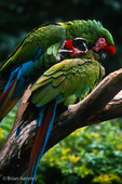 Military Macaw (Ara militaris) Allopreening (preening each other in courtship / pair bonding ritual), Mexico. Vulnerable (IUCN), CITES I