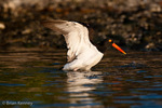 American Oystercatcher / American Pied Oystercatcher / Oystercatcher (Haematopus palliatus) Flapping wings to realign flight feathers after bathing, Gulf of Mexico, Florida.  Range = coastal areas of  North, Central, & South America from Baja California & New England south to Argentina & Chile.  Protected by the Migratory Bird Treaty Act of 1918.