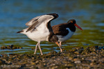 American Oystercatcher / American Pied Oystercatcher / Oystercatcher (Haematopus palliatus) Baby stretching wings with adult in background, Gulf of Mexico, Florida.  The young are Precocial, leaving the nest within about three days of hatching, but staying with the parents for 35+ days before fledging.  Range = coastal areas of North, Central, & South America from Baja California & New England south to Argentina & Chile.  Protected by the Migratory Bird Treaty Act of 1918.