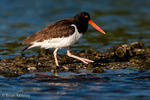 American Oystercatcher / American Pied Oystercatcher / Oystercatcher (Haematopus palliatus) Walking on Oyster Bar, Gulf of Mexico, Florida.  Range = coastal areas of North, Central, & South America from Baja California & New England south to Argentina & Chile.  Protected by the Migratory Bird Treaty Act of 1918.