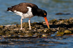 American Oystercatcher / American Pied Oystercatcher / Oystercatcher (Haematopus palliatus) searching for food on oyster bar, Gulf of Mexico, Florida.  Range = coastal areas of North, Central, & South America from Baja California & New England south to Argentina & Chile.  Protected by the Migratory Bird Treaty Act of 1918.