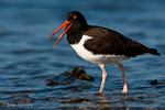 American Oystercatcher / American Pied Oystercatcher / Oystercatcher (Haematopus palliatus) Calling, Gulf of Mexico, Florida.  Range = coastal areas of North, Central, & South America from Baja California & New England south to Argentina & Chile.  Protected by the Migratory Bird Treaty Act of 1918.