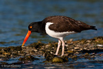 American Oystercatcher / American Pied Oystercatcher / Oystercatcher (Haematopus palliatus) on oyster bar, with small arthopod prey, Gulf of Mexico, Florida.  Range = coastal areas of North, Central, & South America from Baja California & New England south to Argentina & Chile.  Protected by the Migratory Bird Treaty Act of 1918.