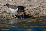 American Oystercatcher / American Pied Oystercatcher / Oystercatcher (Haematopus palliatus) young bird eating an oyster that was just pulled out of its shell by its parent, Gulf of Mexico, Florida.  Research has shown that the two techniques used (Stabbers & Hammerers) to open the mollusks are learned behaviors.  Baby Oystercatchers are Precocial, leaving the nest within about three days of hatching, but staying with the parents for 35+ days before fledging.  Range = coastal areas of North, Central, & South America from Baja California & New England south to Argentina & Chile.  Protected by the Migratory Bird Treaty Act of 1918.