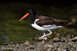 American Oystercatcher / American Pied Oystercatcher / Oystercatcher (Haematopus palliatus) Walking, Gulf of Mexico, Florida.  Range = coastal areas of North, Central, & South America from Baja California & New England south to Argentina & Chile.  Protected by the Migratory Bird Treaty Act of 1918.
