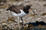 American Oystercatcher / American Pied Oystercatcher / Oystercatcher (Haematopus palliatus) Gulf of Mexico, Florida.  Young Oystercatchers like this one are Precocial, leaving the nest within about three days of hatching, but staying with the parents for 35+ days before fledging.  Range = coastal areas of North, Central, & South America from Baja California & New England south to Argentina & Chile.  Protected by the Migratory Bird Treaty Act of 1918.