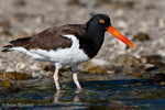 American Oystercatcher / American Pied Oystercatcher / Oystercatcher (Haematopus palliatus) Gulf of Mexico, Florida.  Range = coastal areas of North, Central, & South America from Baja California & New England south to Argentina & Chile.  Protected by the Migratory Bird Treaty Act of 1918.