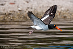 American Oystercatcher / American Pied Oystercatcher / Oystercatcher (Haematopus palliatus) in Flight, Gulf of Mexico, Florida.  Range = coastal areas of North, Central, & South America from Baja California & New England south to Argentina & Chile.  Protected by the Migratory Bird Treaty Act of 1918.