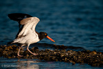 American Oystercatcher / American Pied Oystercatcher / Oystercatcher (Haematopus palliatus) on oyster bar, Gulf of Mexico, Florida.  Range = coastal areas of North, Central, & South America from Baja California & New England south to Argentina & Chile.  Protected by the Migratory Bird Treaty Act of 1918.