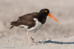 American Oystercatcher / American Pied Oystercatcher / Oystercatcher (Haematopus palliatus) on beach, Blind Pass, Manasota Key, Gulf of Mexico, Florida.  Range = coastal areas of North, Central, & South America from Baja California & New England south to Argentina & Chile.  Protected by the Migratory Bird Treaty Act of 1918.