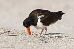 American Oystercatcher / American Pied Oystercatcher / Oystercatcher (Haematopus palliatus) mom turning egg in unlined scrape nest on beach, Blind Pass, Manasota Key, Florida. This is the first of two to four eggs that she will lay. Incubation takes 24 to 29 days. Both parents will take turns incubating the eggs and guarding the nest. Range = coastal areas of North, Central, & South America from Baja California & New England south to Argentina & Chile. Protected by the Migratory Bird Treaty Act of 1918.