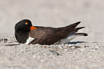 American Oystercatcher / American Pied Oystercatcher / Oystercatcher (Haematopus palliatus) sleeping & incubating eggs in scrape nest on beach, Blind Pass, Manasota Key, Florida. Two to four eggs are laid in the unlined nest, and incubation takes 24 to 29 days. Both parents share the incubation and nest guarding duties. Range = coastal areas of North, Central, & South America from Baja California & New England south to Argentina & Chile. Protected by the Migratory Bird Treaty Act of 1918.