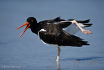 American Oystercatcher / American Pied Oystercatcher / Oystercatcher (Haematopus palliatus) Calling while Stretching, Estero Lagoon, Florida.  Range = coastal areas of North, Central, & South America from Baja California & New England south to Argentina & Chile.  Protected by the Migratory Bird Treaty Act of 1918.