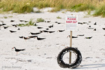 Sign asking people to keep out of a nesting colony of Black Skimmers (Rynchops n. niger) Anna Maria Island, Florida.