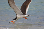 Black Skimmer (Rynchops n. niger) in Flight, Skimming surface of water for fish prey, Anna Maria Island, Gulf of Mexico, Florida.  Subspecies breeds in colonies on the Atlantic coast of North America and from southern California to Ecuador on the Pacific.