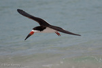 Black Skimmer (Rynchops n. niger) in Flight, Anna Maria Island, Gulf of Mexico, Florida.  Subspecies breeds in colonies on the Atlantic coast of North America and from southern California to Ecuador on the Pacific.