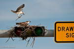 Osprey (Pandion haliaetus carolinensis) Male, in flight, with nesting material, landing at its nest, built on top of a traffic light, Florida.  Female is on the nest.  The Osprey is also known as a Seahawk, Fish Hawk, and Fish Eagle.  This successful diurnal raptor is found on all continents throughout the world with the exception of Antarctica.  The Osprey is equally at home in both urban and wilderness environments.  Protected by the Migratory Bird Treaty Act.