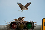 Osprey (Pandion haliaetus carolinensis) Male flying over its nest, built on top of a traffic light, Florida.  Female is on the nest.  The Osprey is also known as a Seahawk, Fish Hawk, and Fish Eagle.  This successful diurnal raptor is found on all continents throughout the world with the exception of Antarctica.  The Osprey is equally at home in both urban and wilderness environments.  Protected by the Migratory Bird Treaty Act.