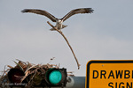 Osprey (Pandion haliaetus carolinensis) Male, in flight, with nesting material, landing at its nest, built on top of a traffic light, Florida.  The Osprey is also known as a Seahawk, Fish Hawk, and Fish Eagle.  This successful diurnal raptor is found on all continents throughout the world with the exception of Antarctica.  The Osprey is equally at home in both urban and wilderness environments.  Protected by the Migratory Bird Treaty Act.