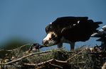 Osprey (Pandion haliaetus carolinensis) Mom feeding chick in nest, Florida.  Nest is built on a fish-cleaning platform on a dock (note dock light to right of adult).  The Osprey is also known as a Seahawk, Fish Hawk, and Fish Eagle.  This successful diurnal raptor is found on all continents throughout the world with the exception of Antarctica.  The Osprey is equally at home in both urban and wilderness environments.  Protected by the Migratory Bird Treaty Act.