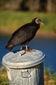 Black Vulture / North American Black Vulture (Coragyps a. atratus) standing on trash can, Florida.  Vultures are the garbage men of the natural world, helping to maintain a healthy ecosystem by cleaning up carrion.  Subspecies range = southern United States and northern Mexico.  Species range = North, Central, & South America.  Protected under the Migratory Bird Treaty Act in the US, the Convention for the Protection of Migratory Birds in Canada, and the Convention for the Protection of Migratory Birds and Game Mammals in Mexico.  Urban Wildlife.