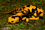 Italian Fire Salamander (Salamandra s. gigliolii) Adult & Baby.  Poisonous, with aposematic coloration (warning colors).  Toxic skin secretions including the neurotoxic alkaloid Samandarin cause muscle convulsions, hypertension, & hyperventilation in vertebrate predators.  Subspecies endemic to Italy.  Species found in southern & central Europe.