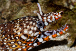 Dragon Moray Eel / Leopard Moray Eel / Hawaiian Dragon Eel (Enchelycore pardalis / formerly: Muraena pardalis)  Gaping.  Pacific Ocean from Hawaii to Japan.