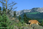 Cougar / Mountain Lion / Panther / Puma (Puma concolor / formerly: Felis concolor) walking in the mountains, Montana. CITES II.