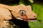 Crested New Caledonian Gecko / New Caledonian Crested Gecko / Guichenot's Giant Gecko / Eyelash Gecko (Rhacodactylus ciliatus) licking eye with tongue to clean.  This species has many naturally-occurring colors and patterns, which are not geographically determined.  Endemic to New Caledonia (Grande Terre, Ile des Pins).  Thought to be extinct until it was rediscovered in 1994.  Vulnerable (IUCN).