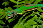 Lined Day Gecko (Phelsuma l. lineata / Syn: Phelsuma lineata bifasciata) licking eye with tongue to clean.  Endemic to Madagascar.  Species introduced to R�union.  CITES II.