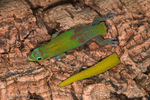 Gold Dust Day Gecko / Broad-Tailed Day Gecko (Phelsuma l. laticauda) Caudal Autotomy is a bizarre defense mechanism where an animal deliberately sacrifices part of its tail in order to escape from a predator.  The tail continues to wriggle after it is detached, distracting the predator from the escaping prey.  Endemic to Madagacar.  Species introduced to Comoros, French Polynesia, Hawaii, Mauritius, Mayotte, Réunion, & Seychelles.  CITES II.