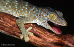 Tokay Gecko (Gekko gecko gecko) Gaping.  Second largest gecko species in the world, reaching lengths of up to 12 inches (30.5 cm).  Species has a widespread distribution in tropical Asia, from India to Indonesia.  Introduced to Hawaii, Florida, Texas, Belize, and several Caribbean Islands.  Often used in traditional Chinese medicine.