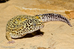 Leopard Gecko (Eublepharis macularius) One of the few gecko species with moveable eyelids and no adhesive lamellae (sticky feet pads).  Afghanistan, India, Iran, & Pakistan.