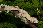 Mossy Leaf-Tailed Gecko / Mossy Flat-Tailed Gecko (Uroplatus s. sikorae)  Endemic to Madagascar.  CITES II.  The Leaf-Tailed Geckos of Madagascar (Uroplatus) are very similar in appearance and behavior to the distantly related Leaf-Tailed Geckos of Australia ( Saltuarius & Phyllurus), an example of convergent evolution.