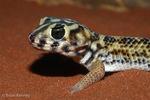 Frog-Eyed Gecko / Common Wonder Gecko (Teratoscincus scincus) Widespread distribution in Asia (Afghanistan, China, Iran, Kazakhstan, Pakistan, Russia, Tajikistan, Turkmenistan, Uzbekistan) and the Arabian Peninsula (Oman, Qatar, United Arab Emirates).