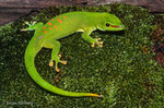 Madagascar Giant Day Gecko (Phelsuma grandis) Endemic to Madagascar.  Introduced to Mauritius & Réunion.  Considered to be a subspecies of the Madagascar Day Gecko (Phelsuma madagascariensis) until elevated to full species status in 2007.  CITES II.