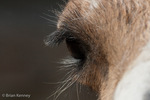 Llama (Lama glama) Eye Detail showing luxurious eyelashes.  South American camelid domesticated for over 5,000 years.  Widely used as a meat, wool, and pack animal by Andean cultures.