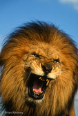 African Lion (Panthera leo leo) male snarling / aggression (missing tooth).  National Animal of Ethiopia & Liberia.  Subspecies endemic to Africa.  Vulnerable (IUCN) / CITES II