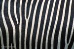 Skin Detail of Grévy's Zebra / Imperial Zebra (Equus grevyi) Endemic to Africa (Ethiopia & Kenya).  Endangered (IUCN), Threatened (USESA), CITES I