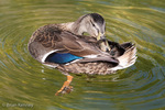 Mallard (Anas platyrhynchos) hen preening, Florida.  Migratory dabbling duck with an extensive range.  Example of both Allen's Rule and Bergmann's Rule.  Mallards and Muscovy Ducks are believed to be the ancestors of all domestic duck breeds.