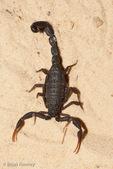 Israeli Black Scorpion (Hottentotta judaicus) Venomous, with an  LD-50 of venom = 7.94 mg/kg intravenous.  Israel, Jordan, Lebanon, Syria, & Turkey.