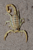 "Blond Desert Hairy Scorpion / Giant Hairy Scorpion / Arizona Desert Scorpion (Hadrurus arizonensis pallidus) Venomous.  Can Spray Venom up to 25cm.  LD-50 value of venom is 198 mg/kg subcutaneous & 168 mg/kg intraperitoneal.  Largest scorpion species in the United States, reaching 5.5"" (14 cm).  This scorpion exhibits a variety of different forms and color morphs, but always has a yellow patch between the eyes and chelicerae.  Species range = United States (AZ, CA, NV, UT)  & Mexico (Baja California, Sonora).  This subspecies is typically found on sand dunes in the Sonoran & Mojave Deserts."