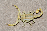 """Blond Desert Hairy Scorpion / Giant Hairy Scorpion / Arizona Desert Scorpion (Hadrurus arizonensis pallidus) Venomous.  Can Spray Venom up to 25cm.  LD-50 value of venom is 198 mg/kg subcutaneous & 168 mg/kg intraperitoneal.  Largest scorpion species in the United States, reaching 5.5"""" (14 cm).  This scorpion exhibits a variety of different forms and color morphs, but always has a yellow patch between the eyes and chelicerae.  Species range = United States (AZ, CA, NV, UT)  & Mexico (Baja California, Sonora).  This subspecies is typically found on sand dunes in the Sonoran & Mojave Deserts."""