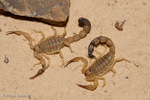 Yellow Desert Scorpion / Egyptian Fat-tailed Scorpion / Tunisian Fat-tailed Scorpion (Androctonus australis) Venomous / Deadly / Medically Significant Venom with an LD-50 of 0.32 mg/kg subcutaneous & 5.69 mg/kg intravenous.  Responsible for more human deaths than any other scorpion species worldwide.  Widespread Distribution in Africa (Algeria, Chad, Egypt, Libya, Mauritania, Somalia, Sudan, Tunesia) and Asia (India, Israel, Pakistan, Saudi Arabia, Yemen).  Scorpions of this species do not dig burrows to hide in and protect themselves from sandstorms.  Researchers at Jilin University believe that the dome-shaped granules on the surface of their exoskeletons protect Androctonus scorpions from the scouring effects of wind and sand.  Applying similar structure to the surface of other materials has shown that the pattern helps to protect them as well.