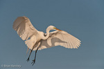 Great Egret / Great White Egret / Common Egret (Ardea alba egretta / Syn: Egretta alba egretta & Casmerodius albus egretta) in flight, landing, Florida.  Subspecies range = North America, Central America, & South America.  Species found in tropical and temperate areas throughout the world.  Protected by the Migratory Bird Treaty Act.  Symbol of National Audubon Society.